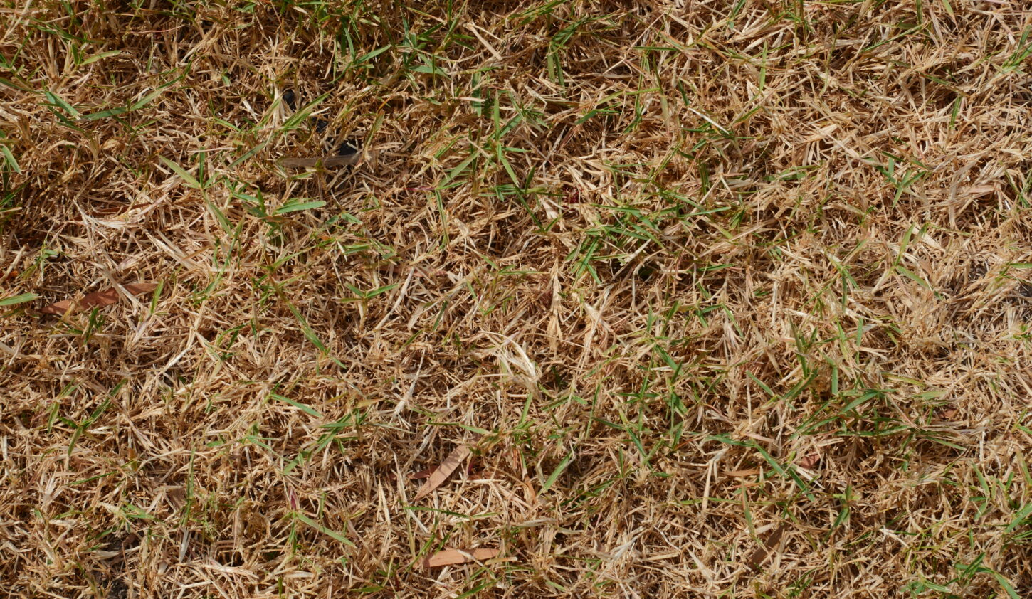 Dried out lawn